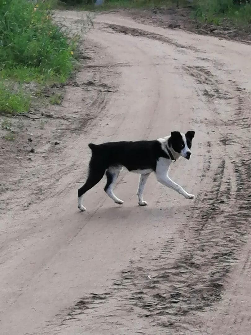 #ИщуХозяина@volonter_kizner  ❗Около Больничного посёлка бегает пёс черно-белой окраски,